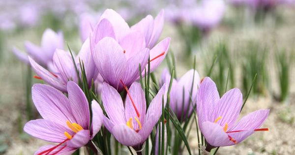 The Love Affair Between Saffron and Humanity: As Ancient as Time Itself