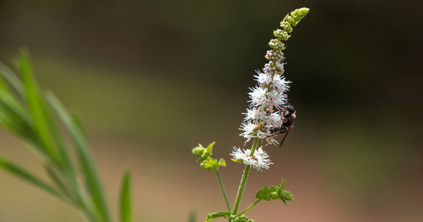 Black Cohosh Better Than Prozac for Menopause