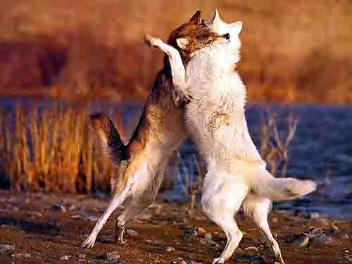 The Two Wolves Story (What it Really Means)