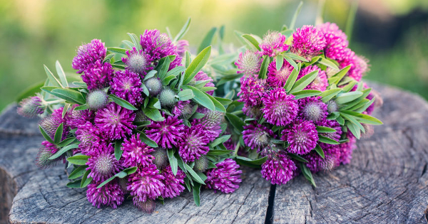Red Clover Beats Inflammation and Oxidative Stress