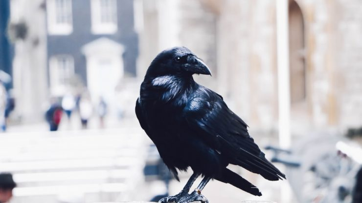 Crows Experience Complex Subjective Experiences and Consciousness